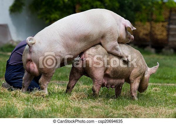 Stock Fotos von schweine, paarung - Pigs, paarung , auf ...