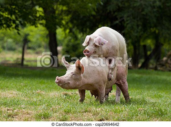 stock foto von schweine paarung auf bauernhof b ume in hintergrund csp20694642 suchen. Black Bedroom Furniture Sets. Home Design Ideas