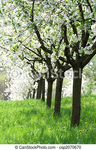 Orchard - spring trees - csp2070670