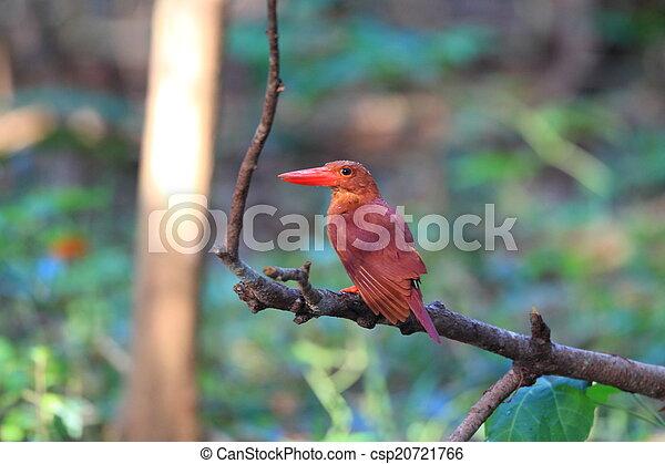 Ruddy Kingfisher  - csp20721766