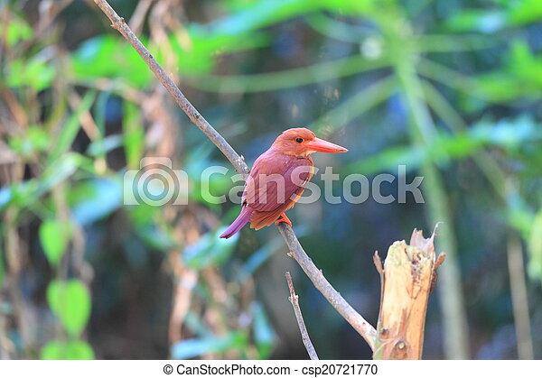 Ruddy Kingfisher  - csp20721770