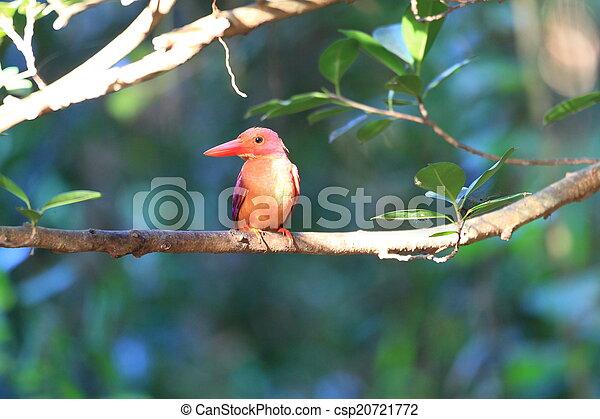 Ruddy Kingfisher  - csp20721772