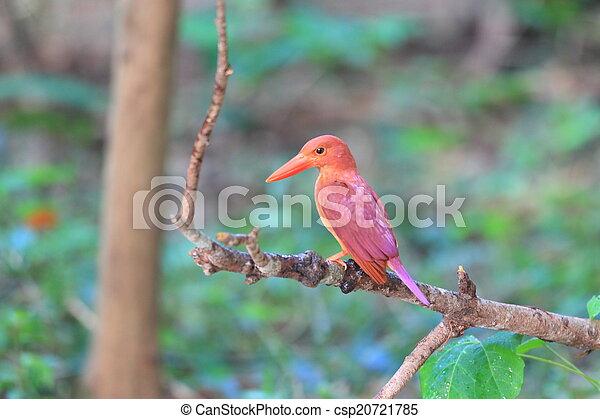 Ruddy Kingfisher  - csp20721785