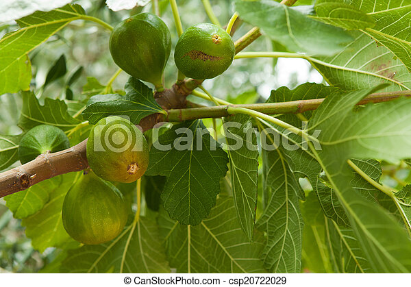 Fig tree with fruit - csp20722029