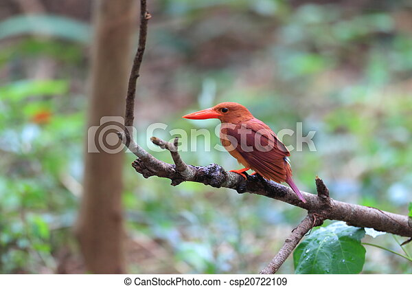 Ruddy Kingfisher - csp20722109