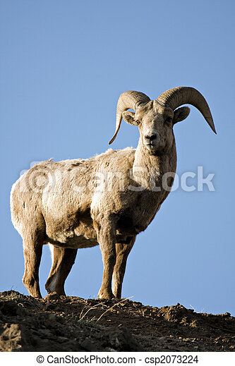 bighorn sheep atop cliff - csp2073224
