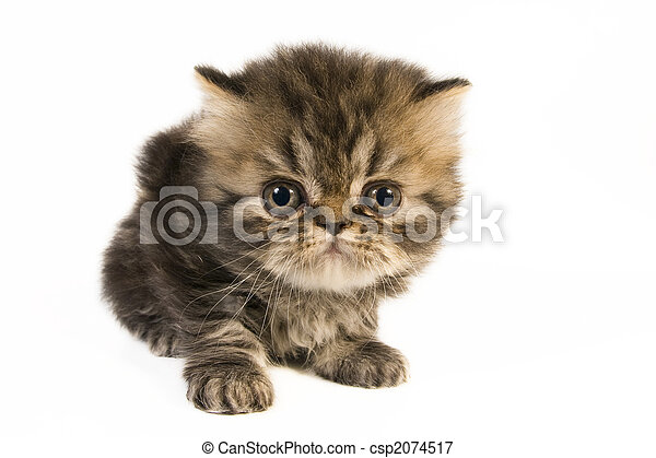 Persian kitten. - csp2074517