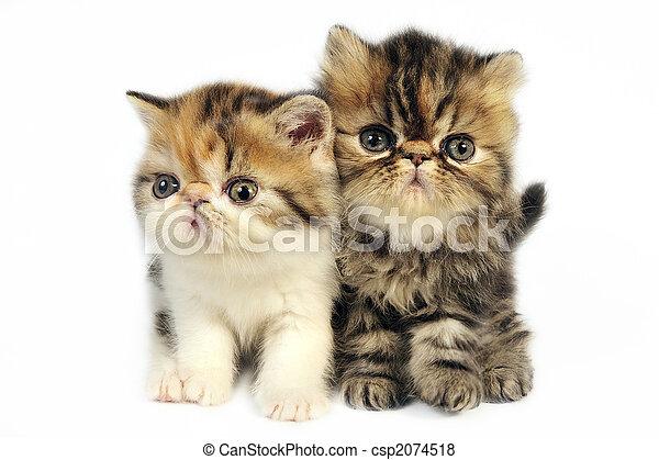 Persian kittens  - csp2074518