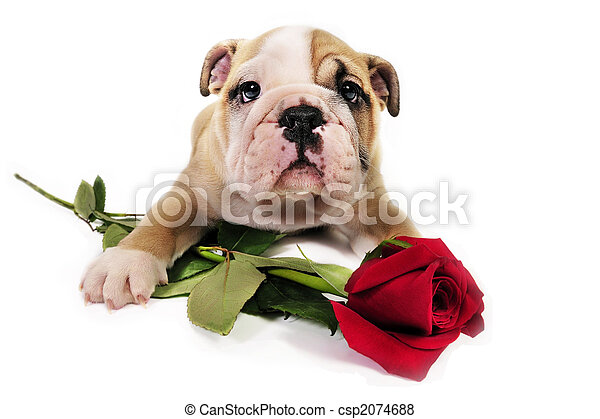 English bulldog puppy with valentine rose. - csp2074688
