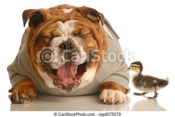 cão, rir, em, pato - csp2075079