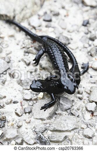 two salamanders - csp20763366