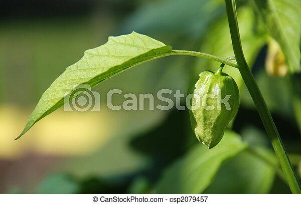 Tomatillo, planta - csp2079457