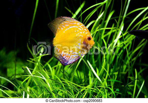 Discus fish - csp2090683