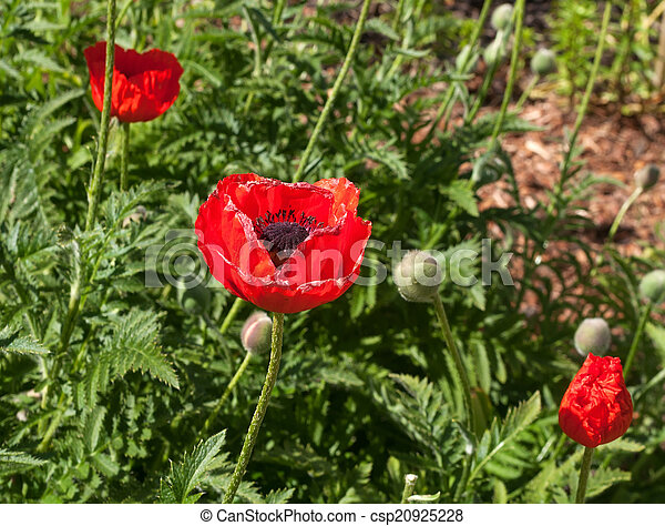 stock photo of red poppies on green grass red poppies on
