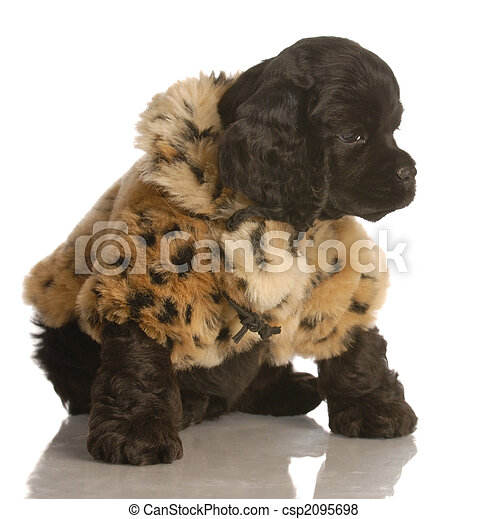 cute cocker spaniel puppy wearing a fur coat - csp2095698