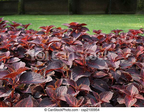 Coleus Nettle plant - csp2100954