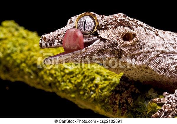 Gargoyle Gecko - csp2102891
