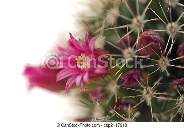 Blossoming cactus close up - csp2117910