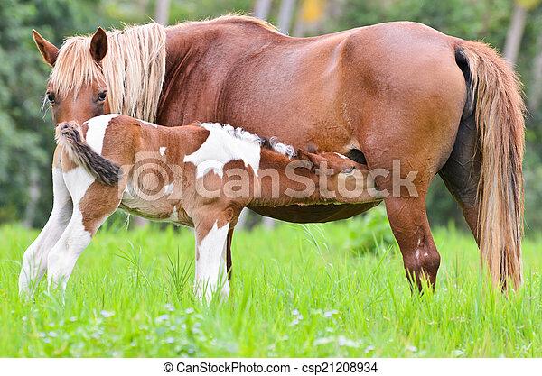 布朗, 驹, 乳儿, 母马 - csp21208934