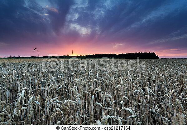 summer sunset over wheat field - csp21217164
