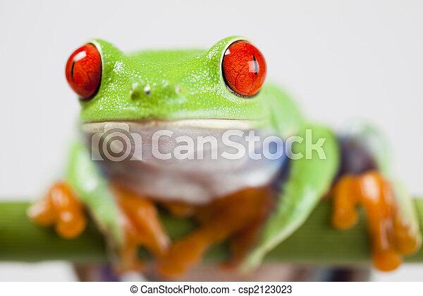 -, カエル, じろじろ見られた, 動物, 小さい, 赤 - csp2123023