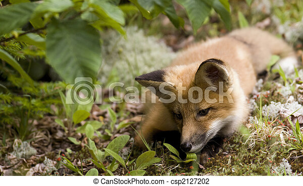 mammal  red fox A - csp2127202