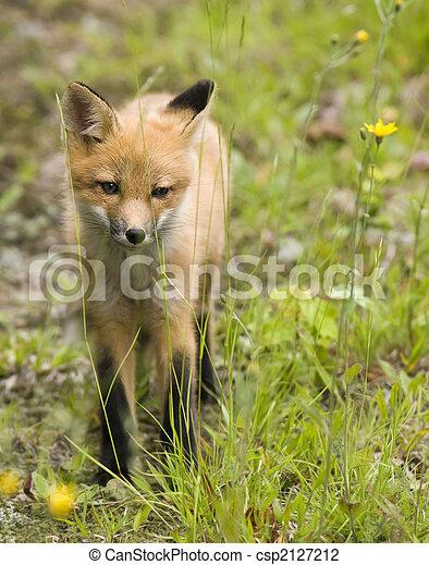 mammal  red fox B - csp2127212