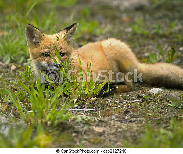 mammal  red fox E - csp2127240