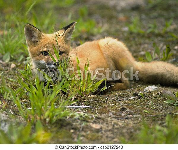 mammal  red fox E - csp2127240