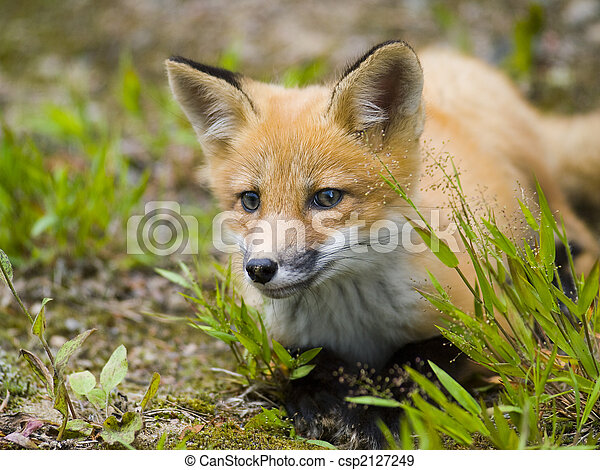 mammal  red fox F - csp2127249