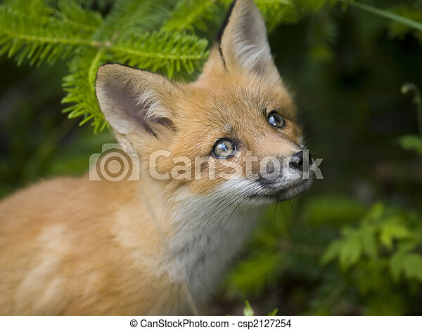哺乳動物, 狐狸, 紅色, g - csp2127254