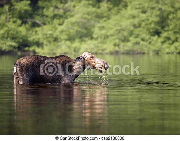 female moose mammal A - csp2130800