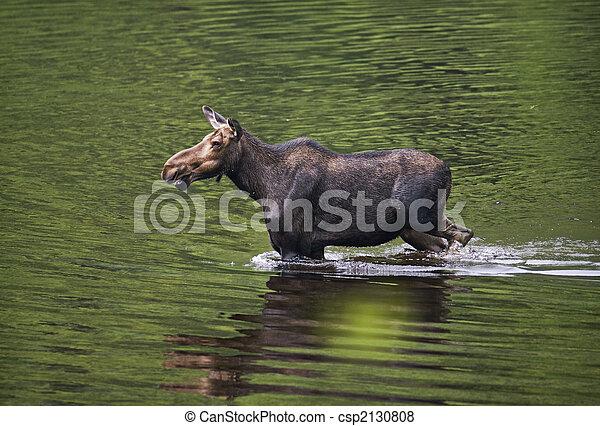 female moose mammal C - csp2130808