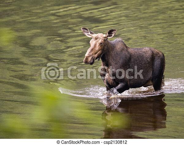 female moose mammal D - csp2130812