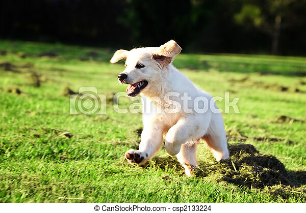 Golden retriever puppy jumping in the grass - csp2133224