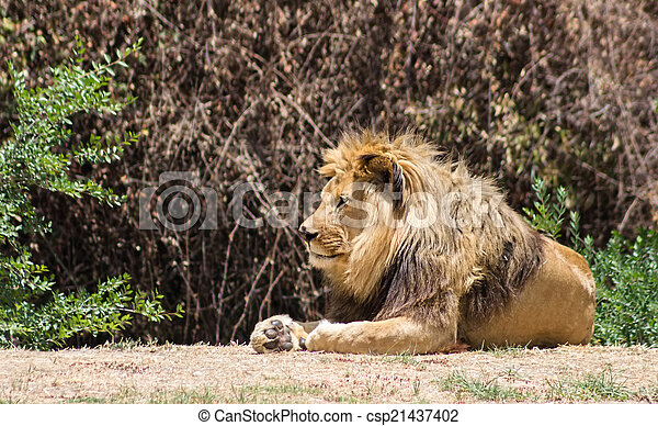 Large mane Lion, rests in the Savannah