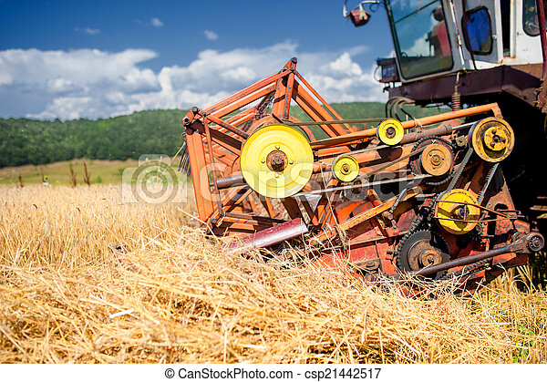 process of harvesting with combine, gathering mature grain crops
