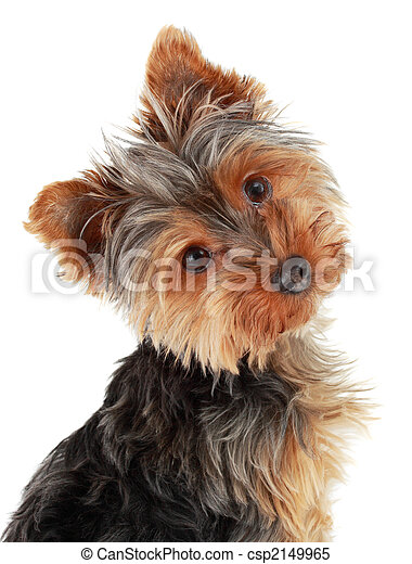 Yorkie Images and Stock Photos. 3,127 Yorkie photography and ...