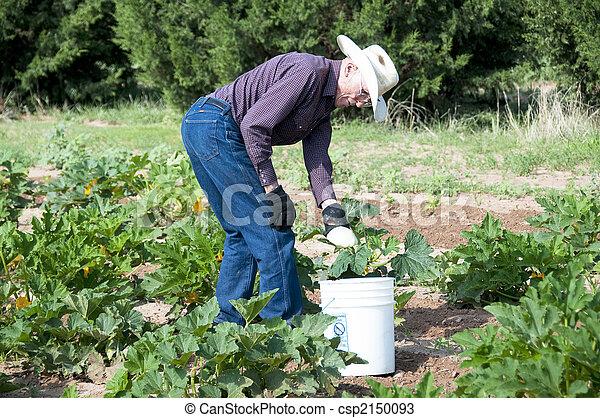 Senior man gathering squash - csp2150093