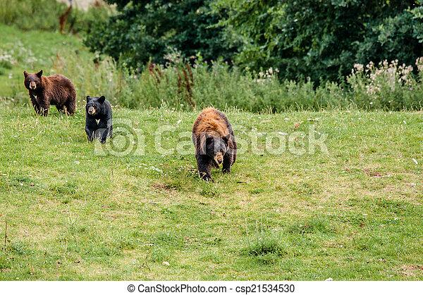 Family of american black bears - csp21534530