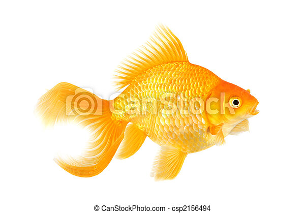 How to sex a fantail goldfish