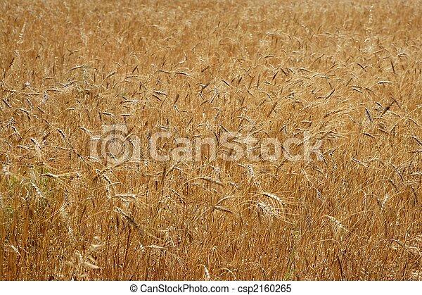 Golden yellow wheat cereal crop field texture - csp2160265