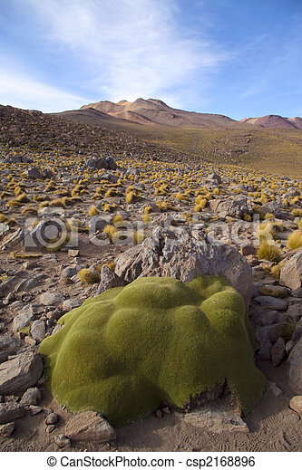 Stone like plant in the altiplano in north Chile, near the border with Bolivia, near San Pedro de Atacama - csp2168896