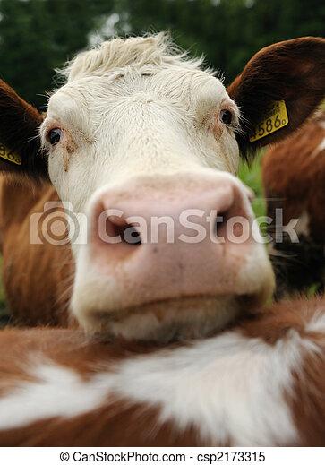 cows on farmland - csp2173315