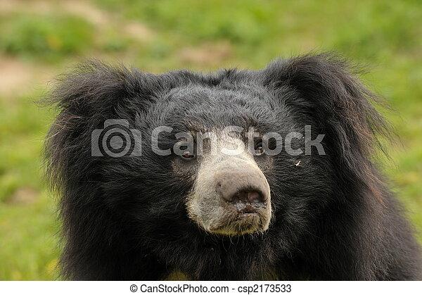 sloth bear  (Melursus ursinus) - csp2173533