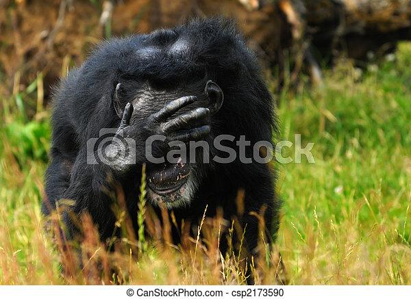 chimpanzee - csp2173590