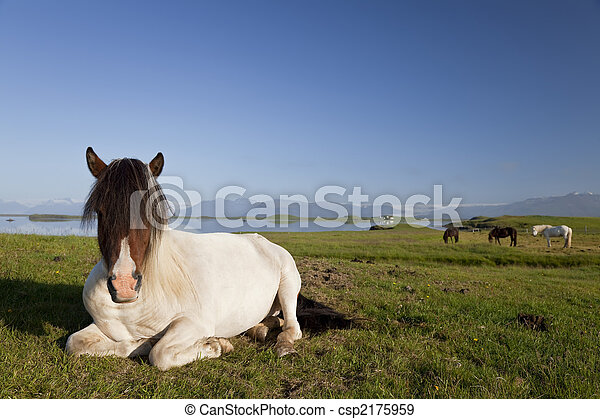 Icelandic Horse At Rest In A Field - csp2175959