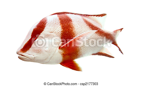 Red emperor (government bream) Lutjanus sebae - csp2177303