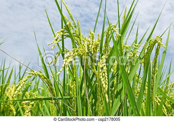 paddy rice harvest - csp2178005
