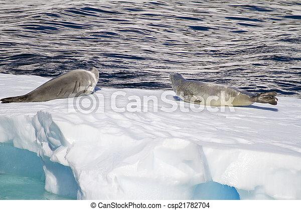 Antarctica - Seals On An Ice Floe - csp21782704